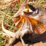 The Frilled-Neck Lizard