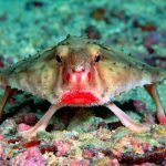 The Red Lipped Bat Fish
