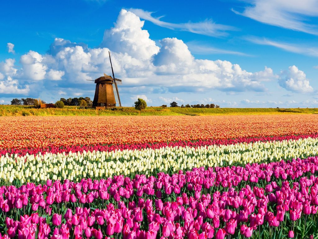 tulips-windmill-holland-cr-getty